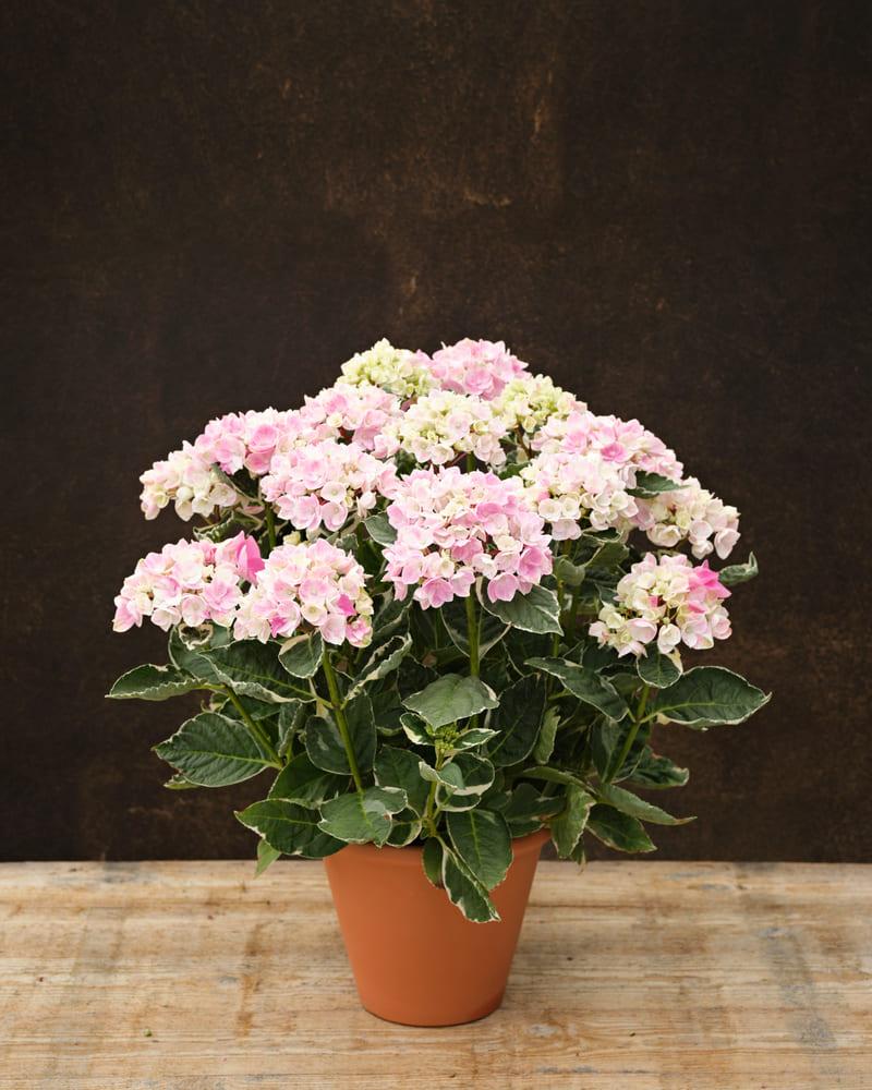 Ankong-variegata-Pink-_B211544-BO-XL