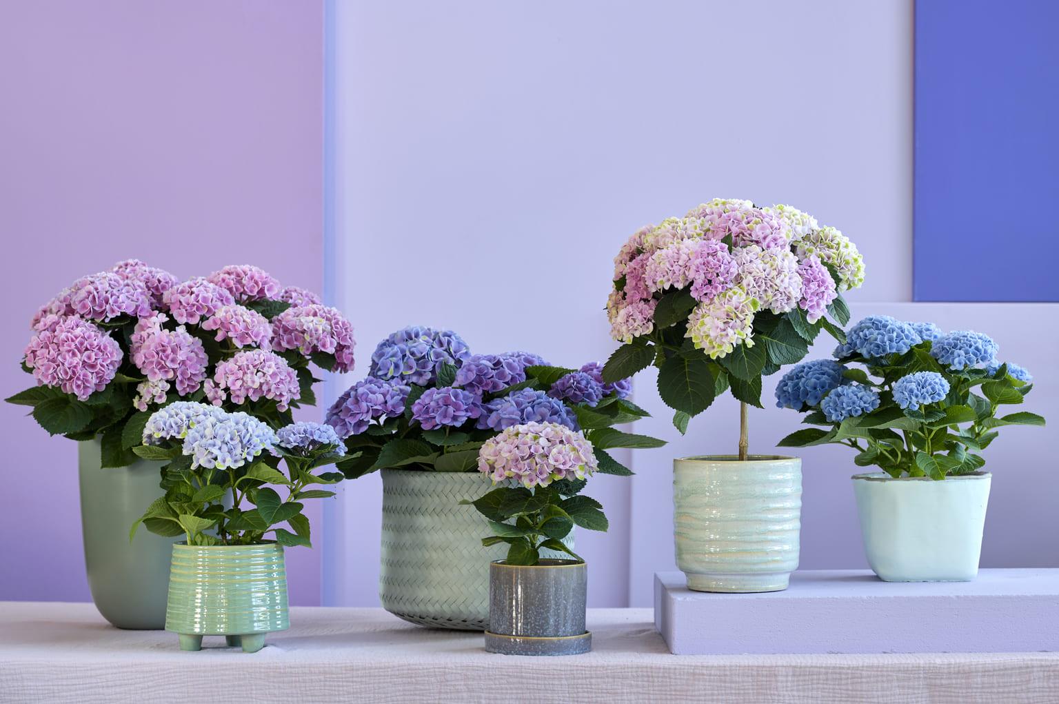 Magical Hydrangea family indoor (3)